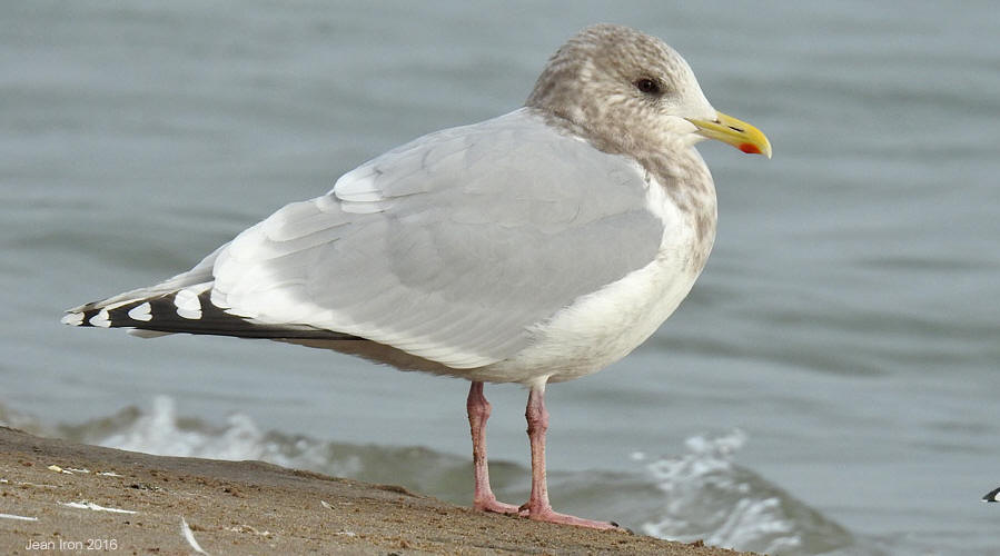 Anything Larus: Lake County Fairgrounds: Pale-eyed Thayer ... |Thayers Gull