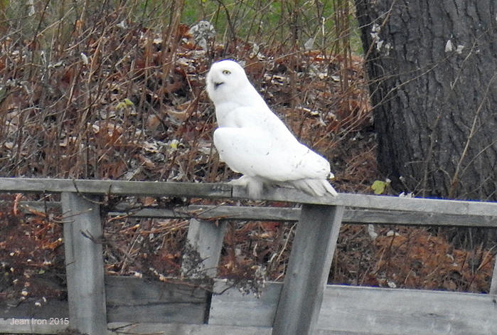 Snowy Owls in Southerrn Ontario